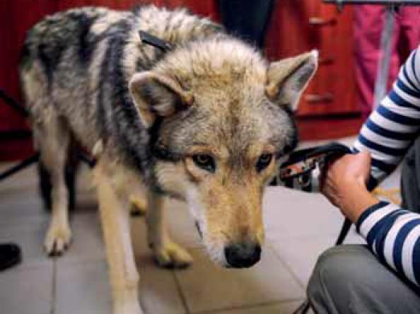 Farkas a rendelőben – állatorvos és a vadállat