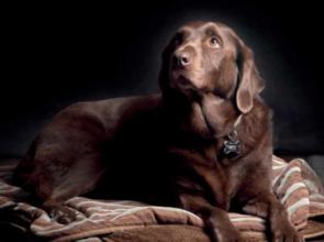 A barna labradorok rövidebb ideig élnek